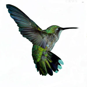 rwscott_hummingbird_small